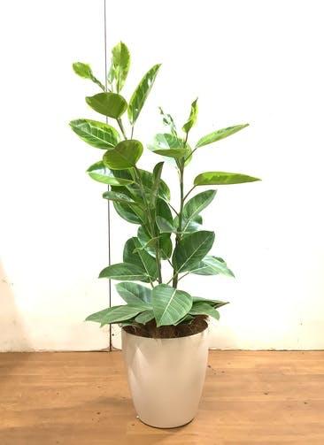 観葉植物 フィカス アルテシーマ 【130cm】 フィカス アルテシーマ 8号 #34741 ラスターポット付き