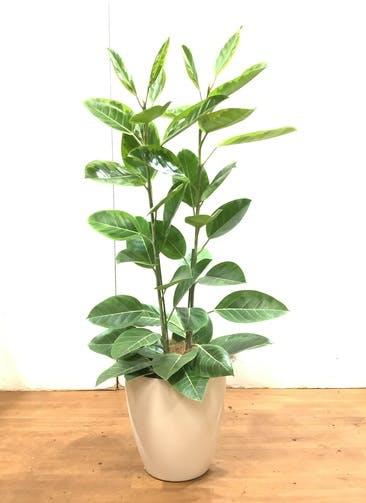 観葉植物 フィカス アルテシーマ 【130cm】 フィカス アルテシーマ 8号 #34740  ラスターポット付き