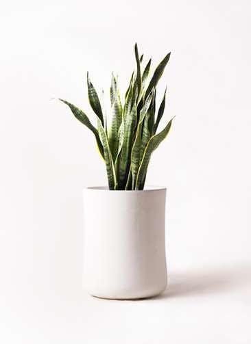 観葉植物 サンスベリア 8号 トラノオ バスク ミドル ホワイト 付き
