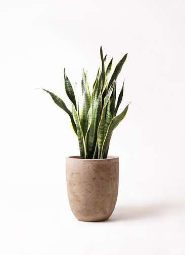 観葉植物 サンスベリア 8号 トラノオ ルーガ アンティコ アルトエッグ 付き