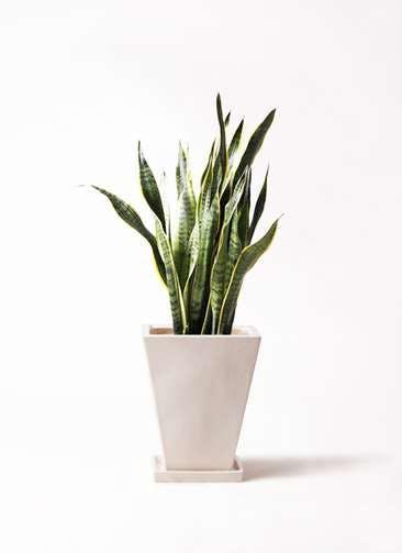 観葉植物 サンスベリア 8号 トラノオ スクエアハット 白 付き