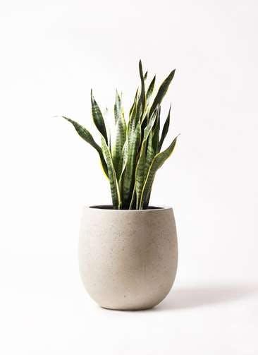 観葉植物 サンスベリア 8号 トラノオ テラニアス バルーン アンティークホワイト 付き