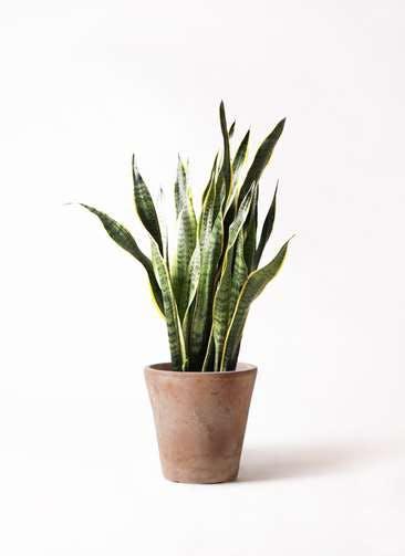 観葉植物 サンスベリア 8号 トラノオ ルーガ アンティコ ソリッド 付き