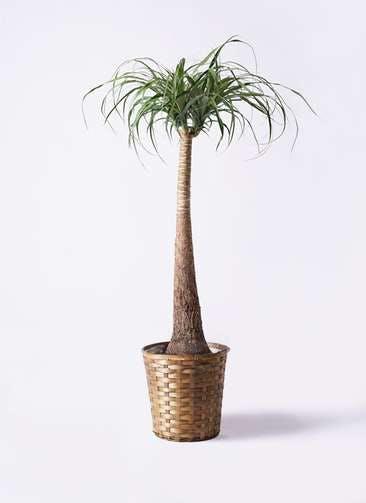 観葉植物 トックリラン ポニーテール 8号 竹バスケット 付き