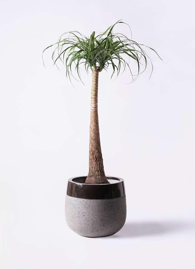 観葉植物 トックリラン ポニーテール 8号 ファイバーストーンタウルス 黒 付き
