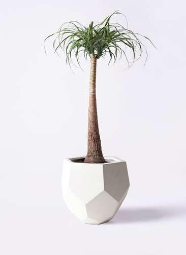 観葉植物 トックリラン ポニーテール 8号 ポリゴヘクサ 白 付き