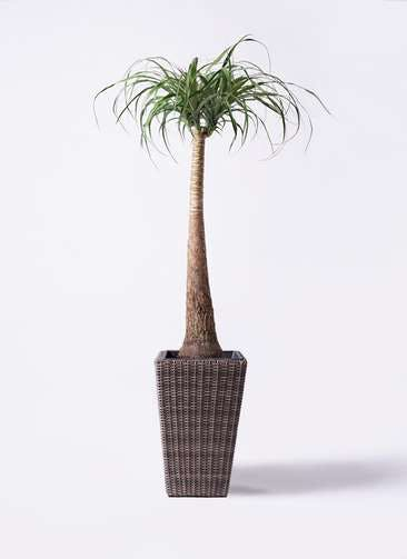 観葉植物 トックリラン ポニーテール 8号 ウィッカーポット スクエアロング OT 茶 付き