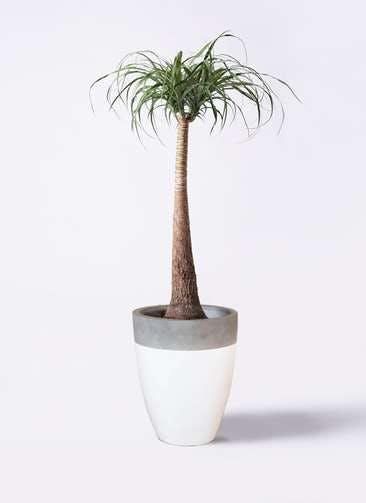観葉植物 トックリラン ポニーテール 8号 ファイバーストーンカプリ 白 付き