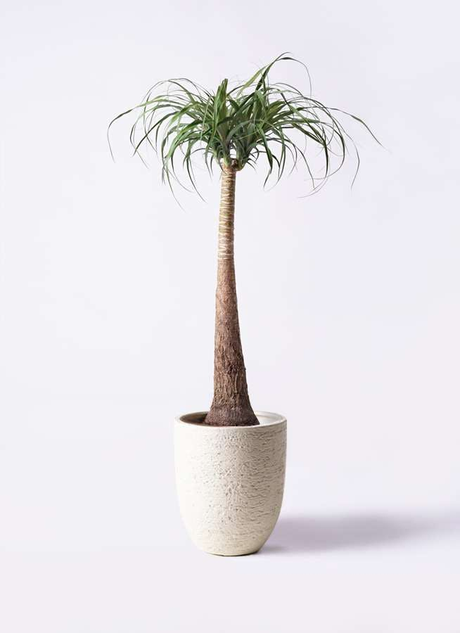 観葉植物 トックリラン ポニーテール 8号 ビアスアルトエッグ 白 付き