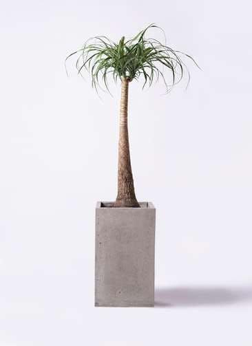 観葉植物 トックリラン ポニーテール 8号 セドナロング グレイ 付き
