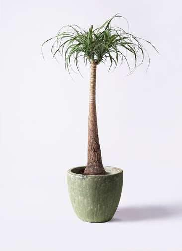 観葉植物 トックリラン ポニーテール 8号 アビスソニアミドル 緑 付き