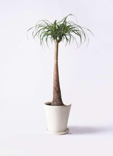 観葉植物 トックリラン ポニーテール 8号 サブリナ 白 付き
