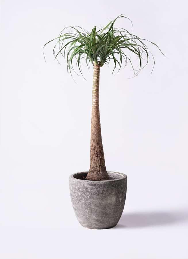 観葉植物 トックリラン ポニーテール 8号 アビスソニアミドル 灰 付き