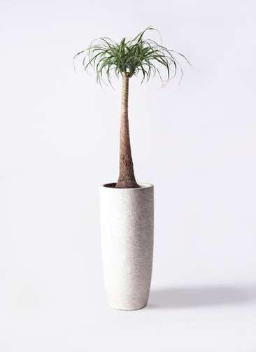 観葉植物 トックリラン ポニーテール 8号 エコストーントールタイプ white 付き
