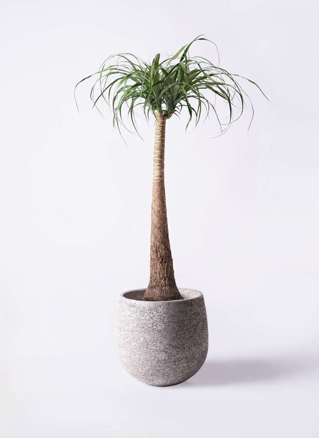 観葉植物 トックリラン ポニーテール 8号 エコストーンGray 付き