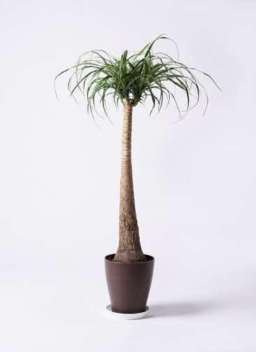 観葉植物 トックリラン ポニーテール 8号 プラスチック鉢
