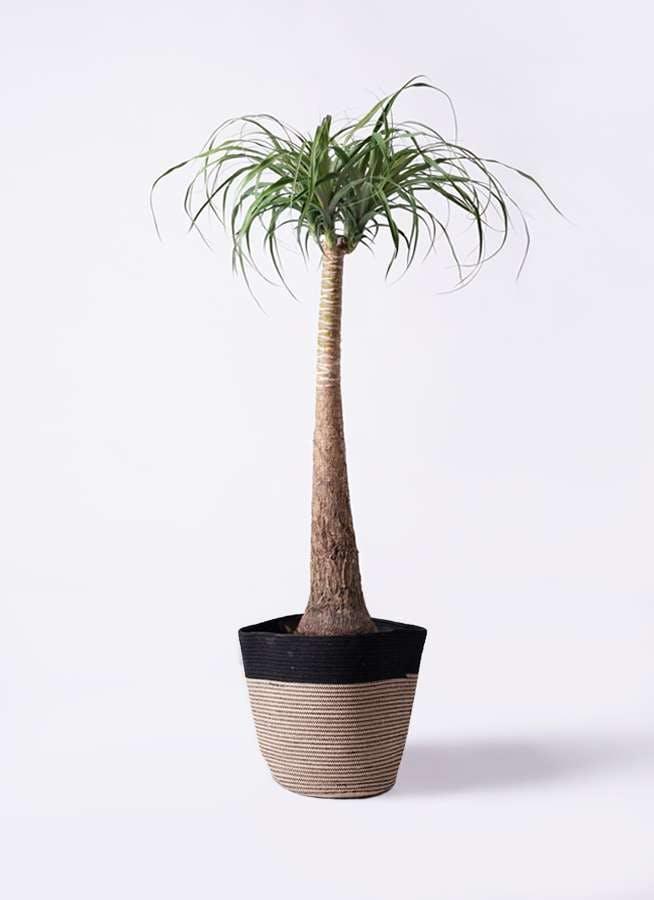 観葉植物 トックリラン ポニーテール 8号 リブバスケットNatural and Black 付き