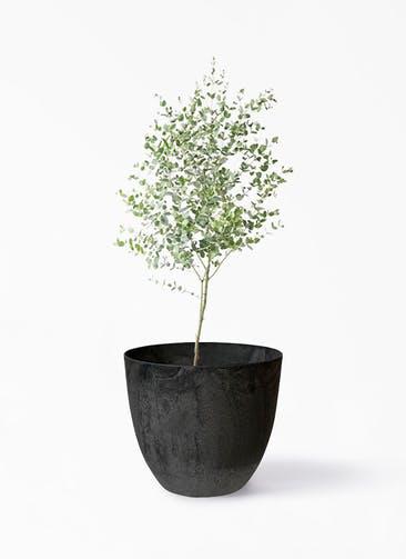 観葉植物 ユーカリ 6号 グニー アートストーン ボーラカバー  ダークグレー 付き
