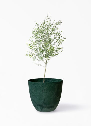 観葉植物 ユーカリ 6号 グニー アートストーン ボーラカバー  グリーン 付き