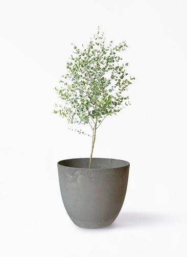 観葉植物 ユーカリ 6号 グニー アートストーン ボーラカバー  サンドストーン 付き
