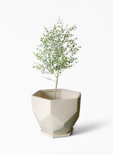 観葉植物 ユーカリ 6号 グニー Ceramic(セラミック) Ceramic Pot (セラミック)  付き