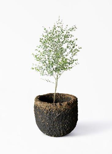 観葉植物 ユーカリ 6号 グニー Coral Pot (コーラルポット)  ブラック 付き