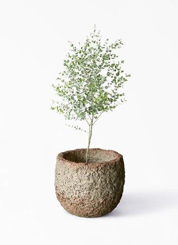 観葉植物 ユーカリ 6号 グニー Coral Pot (コーラルポット)  ホワイト 付き