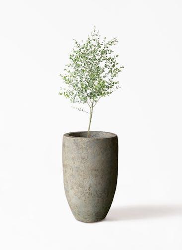 観葉植物 ユーカリ 6号 グニー Sheer Pot (シアーポット)  付き
