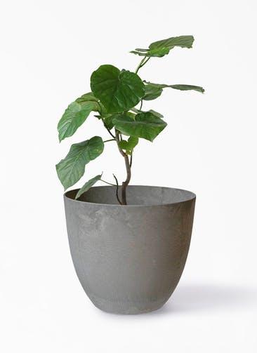 観葉植物 フィカス ウンベラータ 6号 ノーマル アートストーン ボーラカバー  サンドストーン 付き