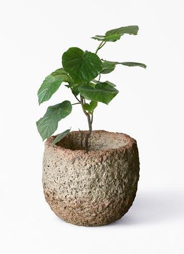 観葉植物 フィカス ウンベラータ 6号 ノーマル Coral Pot (コーラルポット)  ホワイト 付き
