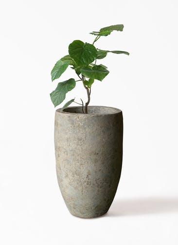 観葉植物 フィカス ウンベラータ 6号 ノーマル Sheer Pot (シアーポット)  付き