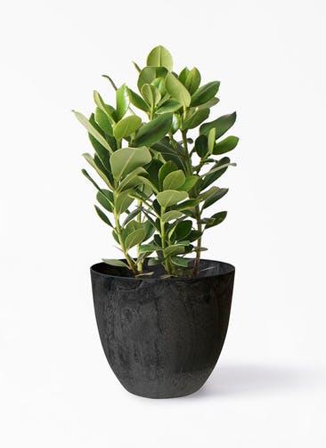 観葉植物 クルシア ロゼア プリンセス 6号 アートストーン ボーラカバー  ダークグレー 付き