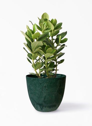 観葉植物 クルシア ロゼア プリンセス 6号 アートストーン ボーラカバー  グリーン 付き