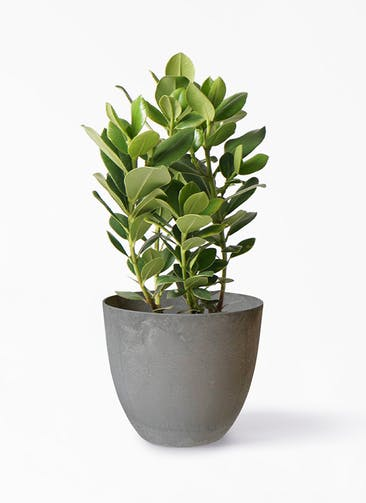 観葉植物 クルシア ロゼア プリンセス 6号 アートストーン ボーラカバー  サンドストーン 付き