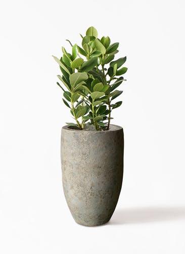 観葉植物 クルシア ロゼア プリンセス 6号 Sheer Pot (シアーポット)  付き
