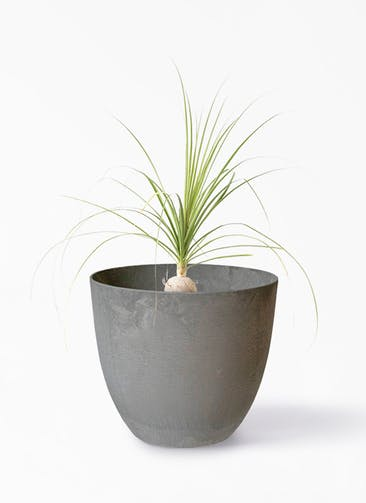観葉植物 トックリラン 6号 アートストーン ボーラカバー  サンドストーン 付き
