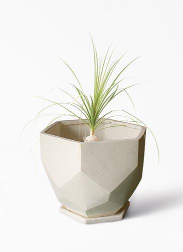 観葉植物 トックリラン 6号 Ceramic(セラミック) Ceramic Pot (セラミック)  付き