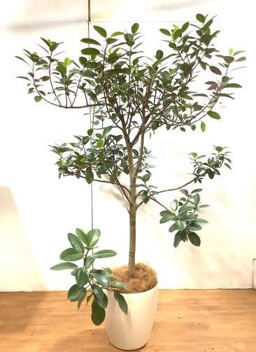 観葉植物 フランスゴムの木 【175cm】 フランスゴムの木 10号 #34739 ※1都3県配送限定商品 ラスターポット付き