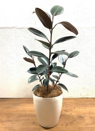 観葉植物 フィカス バーガンディ 【105cm】 フィカス バーガンディ 7号 ストレート #36121 ラスターポット付き