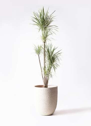 観葉植物 コンシンネ ホワイポリー 10号 ストレート ビアスアルトエッグ 白 付き
