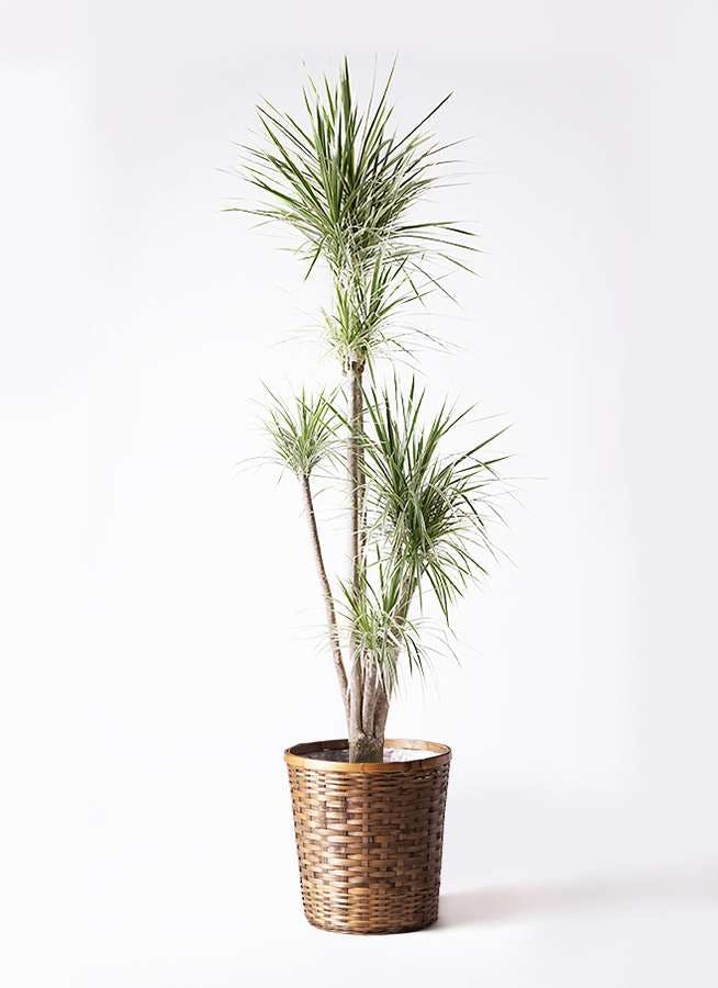 観葉植物 コンシンネ ホワイポリー 10号 ストレート 竹バスケット 付き