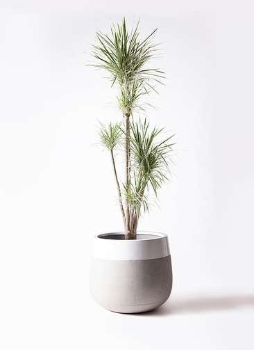 観葉植物 コンシンネ ホワイポリー 10号 ストレート ファイバーストーンタウルス ミドル 白 付き