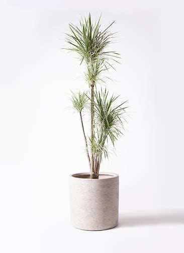 観葉植物 コンシンネ ホワイポリー 10号 ストレート サンディ シリンダー 白 付き