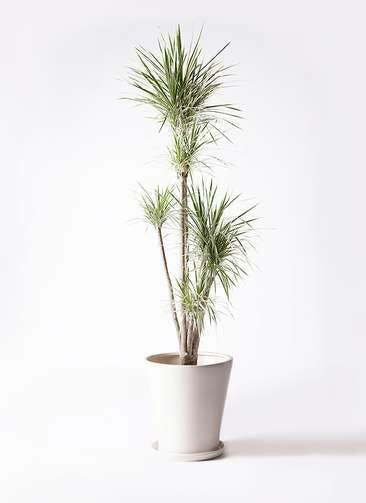 観葉植物 コンシンネ ホワイポリー 10号 ストレート サブリナ 白 付き