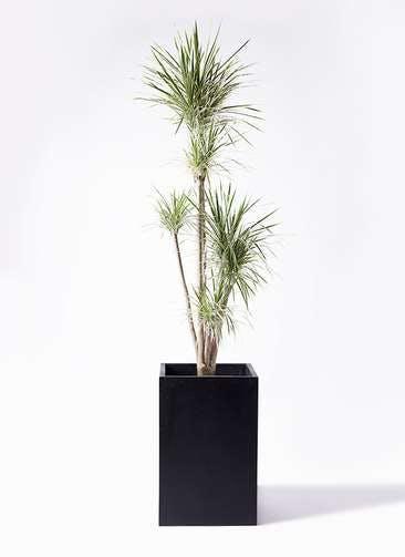 観葉植物 コンシンネ ホワイポリー 10号 ストレート セドナロング 墨 付き