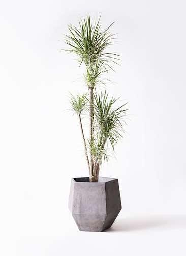 観葉植物 コンシンネ ホワイポリー 10号 ストレート ファイバークレイGray 付き