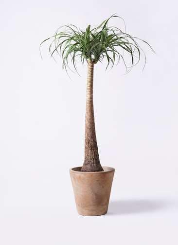 観葉植物 トックリラン ポニーテール 8号 ルーガ アンティコ ソリッド 付き