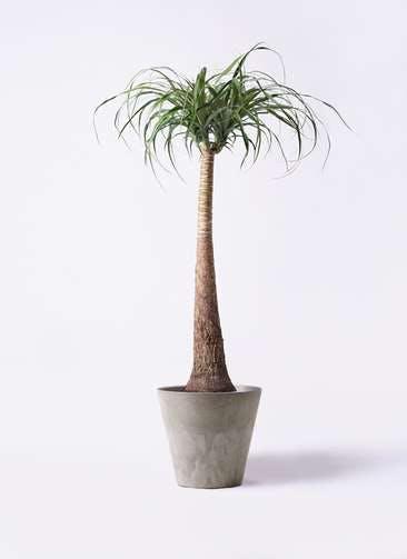 観葉植物 トックリラン ポニーテール 8号 アートストーン ラウンド グレー 付き