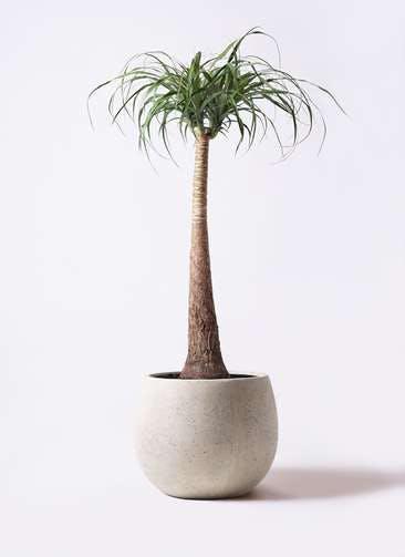 観葉植物 トックリラン ポニーテール 8号 テラニアス ローバルーン アンティークホワイト 付き