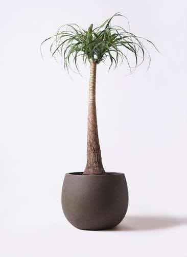 観葉植物 トックリラン ポニーテール 8号 テラニアス ローバルーン アンティークブラウン 付き